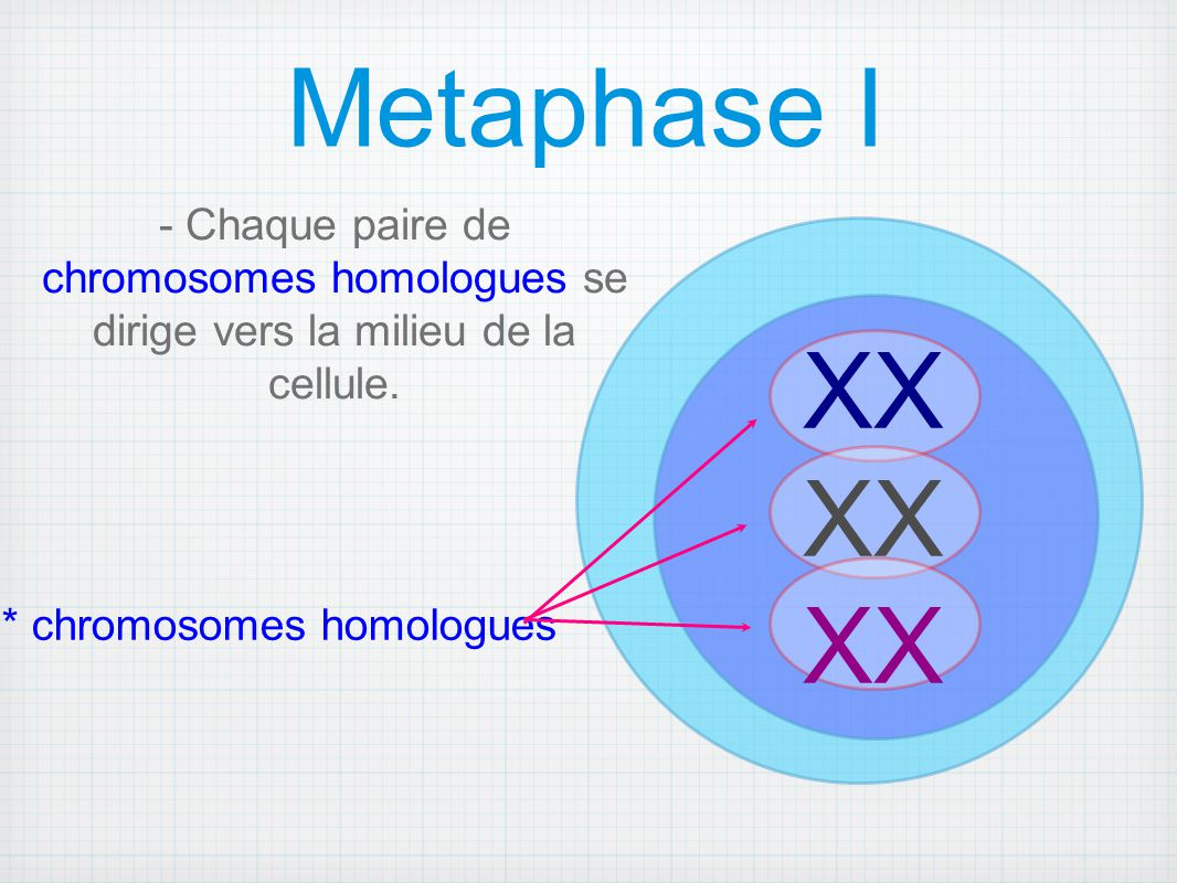 * chromosomes homologues