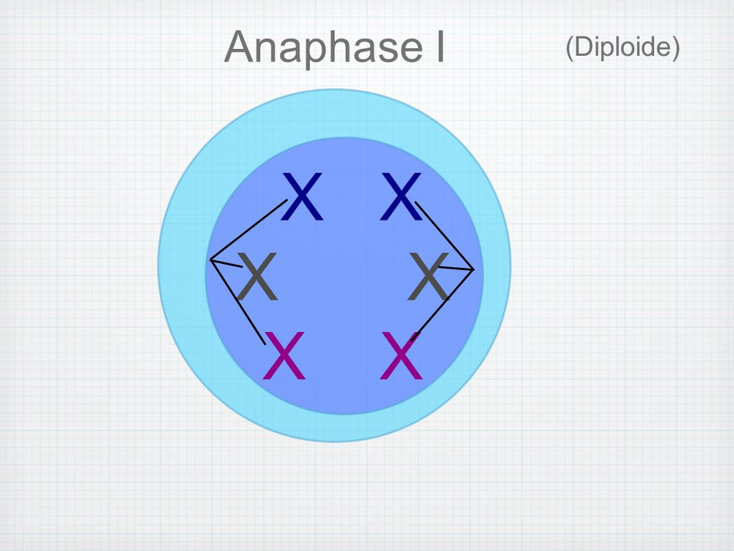 Anaphase I (Diploide) X X X X X X