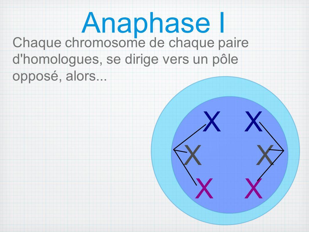 Anaphase I Chaque chromosome de chaque paire d homologues, se dirige vers un pôle opposé, alors... X X.