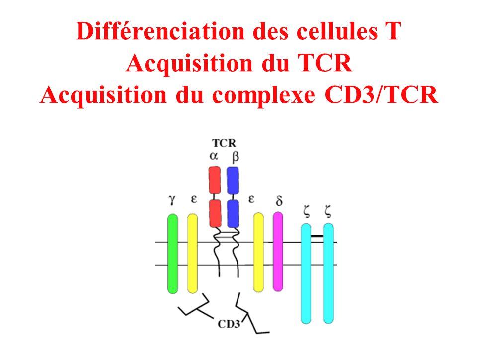 Différenciation des cellules T Acquisition du complexe CD3/TCR