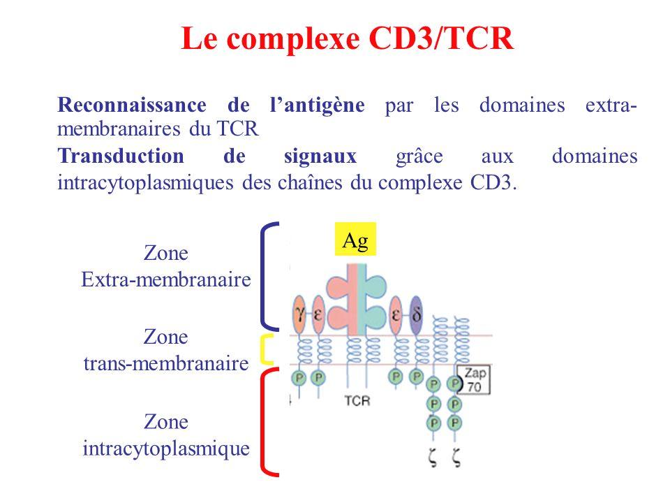 Le complexe CD3/TCR Reconnaissance de l'antigène par les domaines extra-membranaires du TCR.