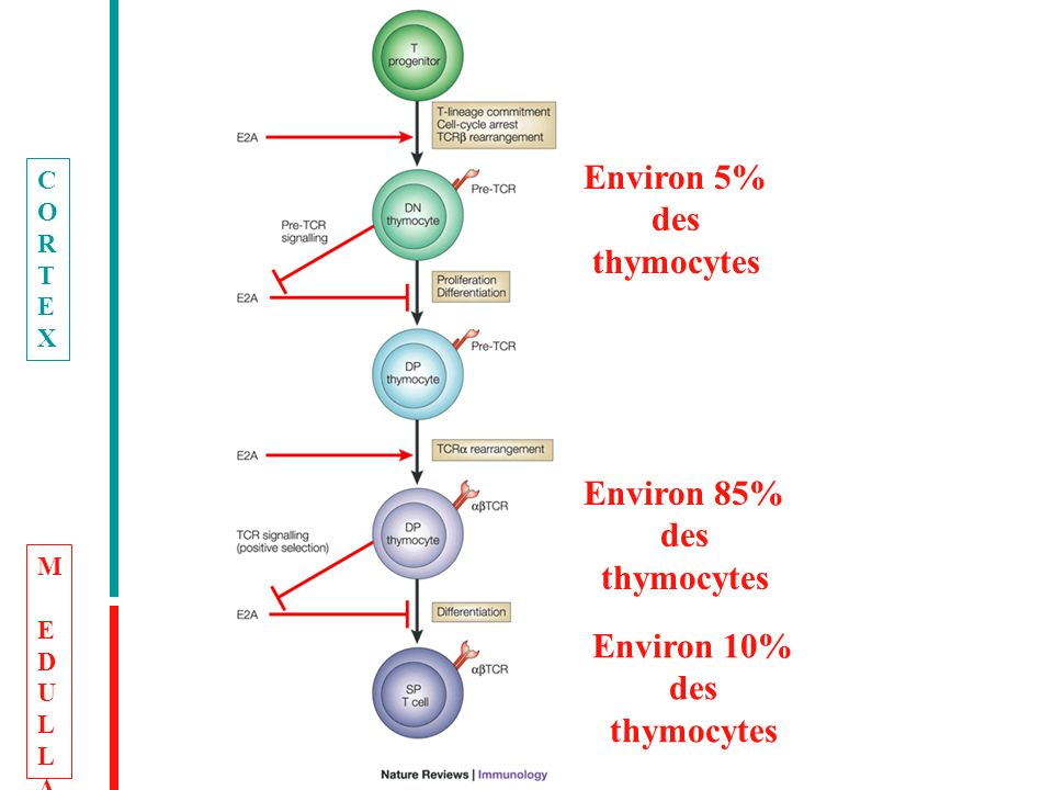 Environ 5% des thymocytes