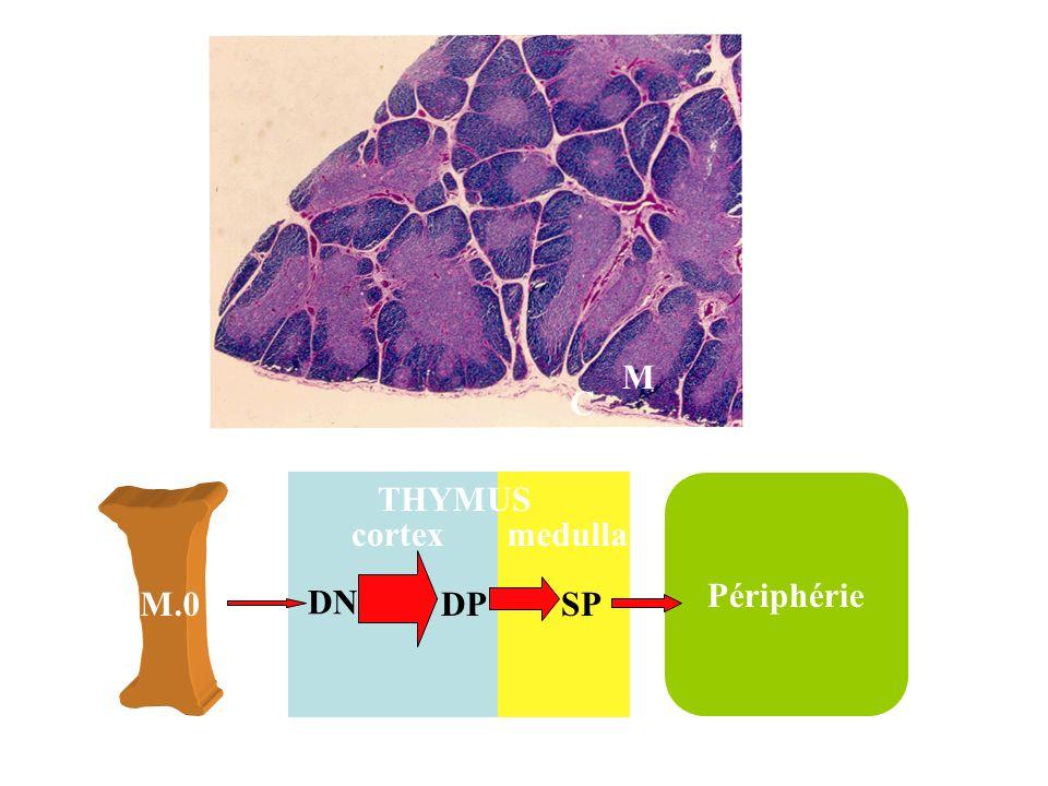 M C THYMUS Périphérie cortex medulla M.0 DN DP SP