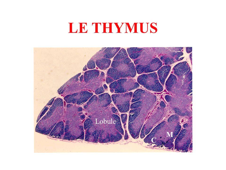 LE THYMUS Lobule M C