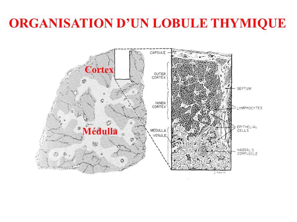 ORGANISATION D'UN LOBULE THYMIQUE