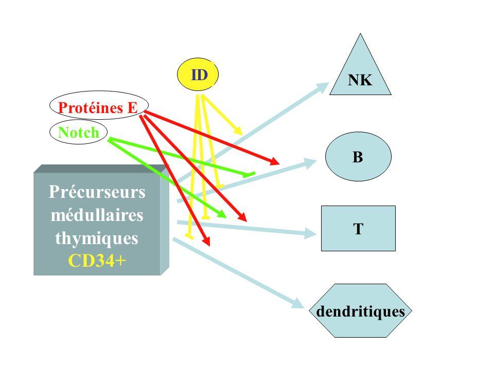 Précurseurs médullaires thymiques CD34+