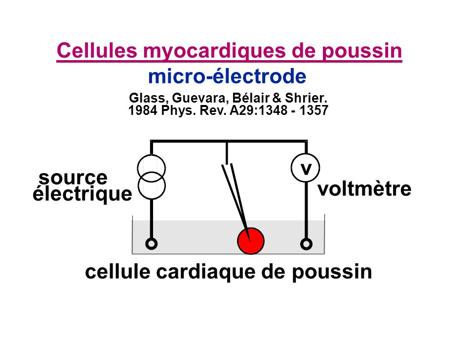 Cellules myocardiques de poussin micro-électrode