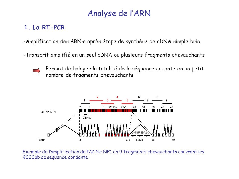 Analyse de l'ARN 1. La RT-PCR