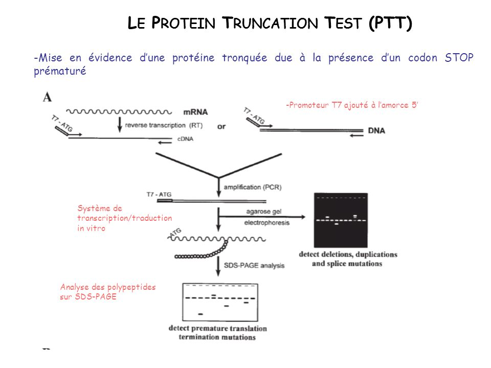 Le Protein Truncation Test (PTT)