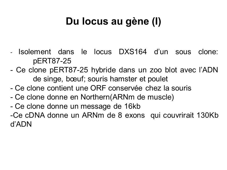 Du locus au gène (I) - Isolement dans le locus DXS164 d'un sous clone: pERT87-25.
