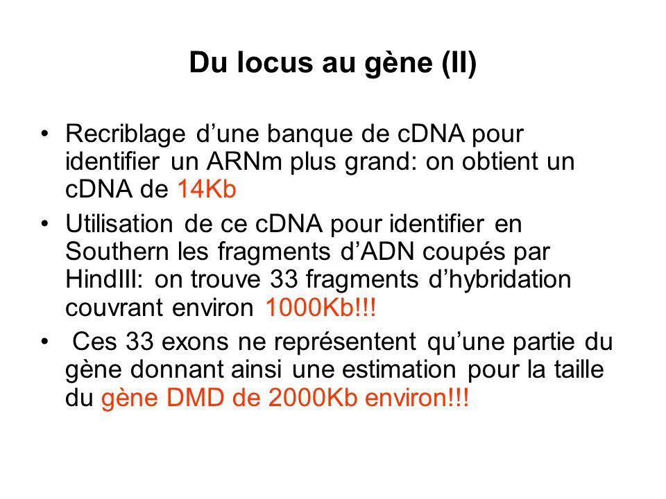 Du locus au gène (II) Recriblage d'une banque de cDNA pour identifier un ARNm plus grand: on obtient un cDNA de 14Kb.