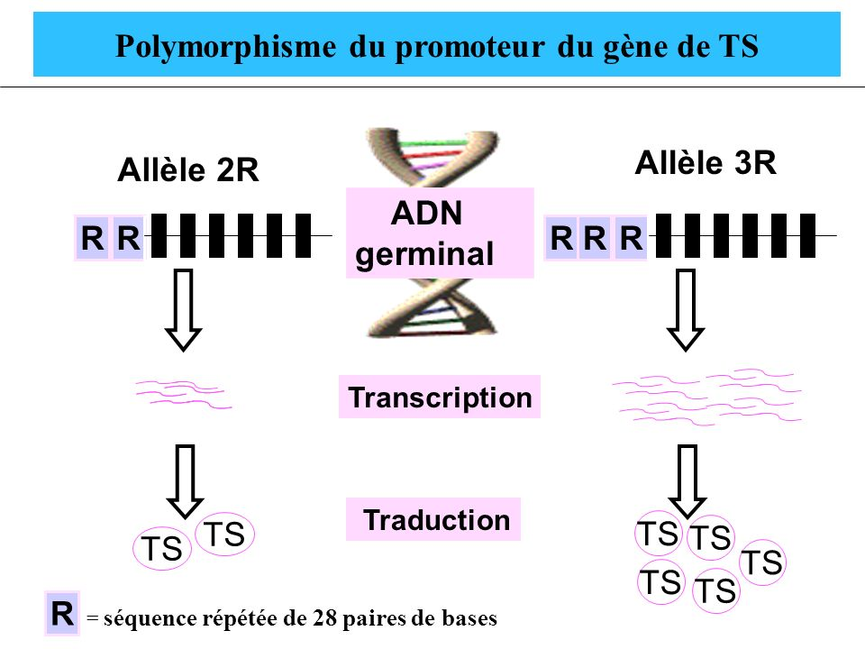 Polymorphisme du promoteur du gène de TS