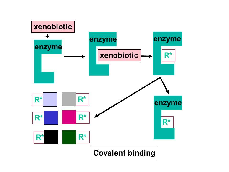 xenobiotic + enzyme enzyme enzyme xenobiotic R* R* R* enzyme R* R* R* R* R* Covalent binding