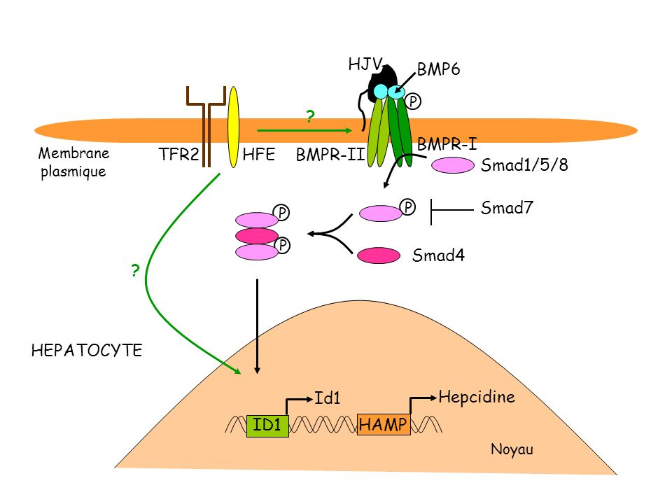 HJV BMP6 BMPR-I TFR2 HFE BMPR-II Smad1/5/8 Smad7 Smad4 HEPATOCYTE