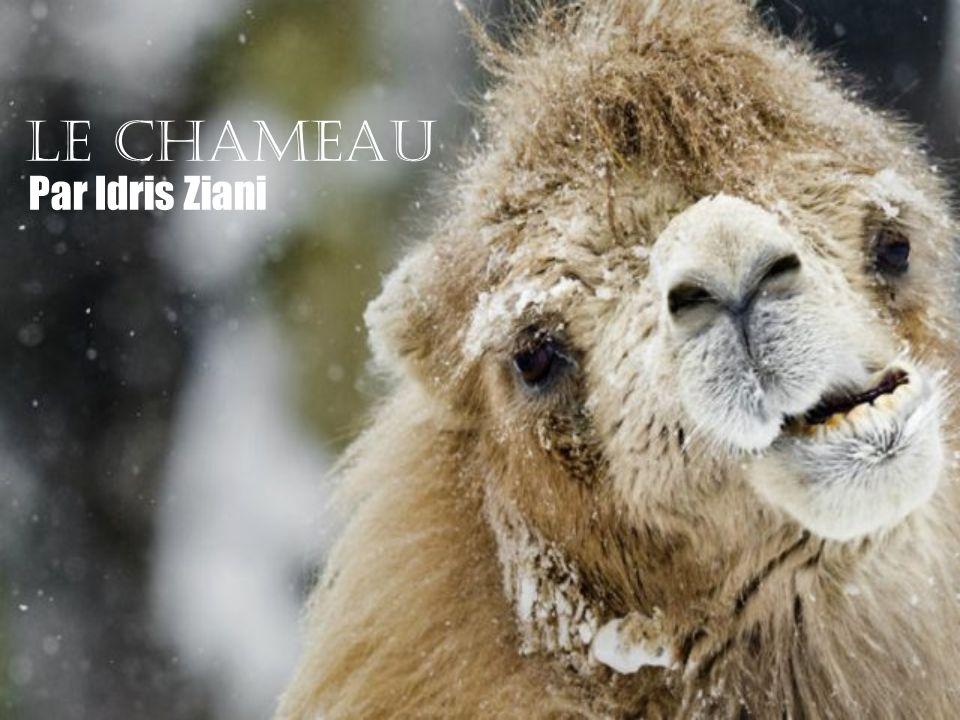 Le chameau Par Idris Ziani
