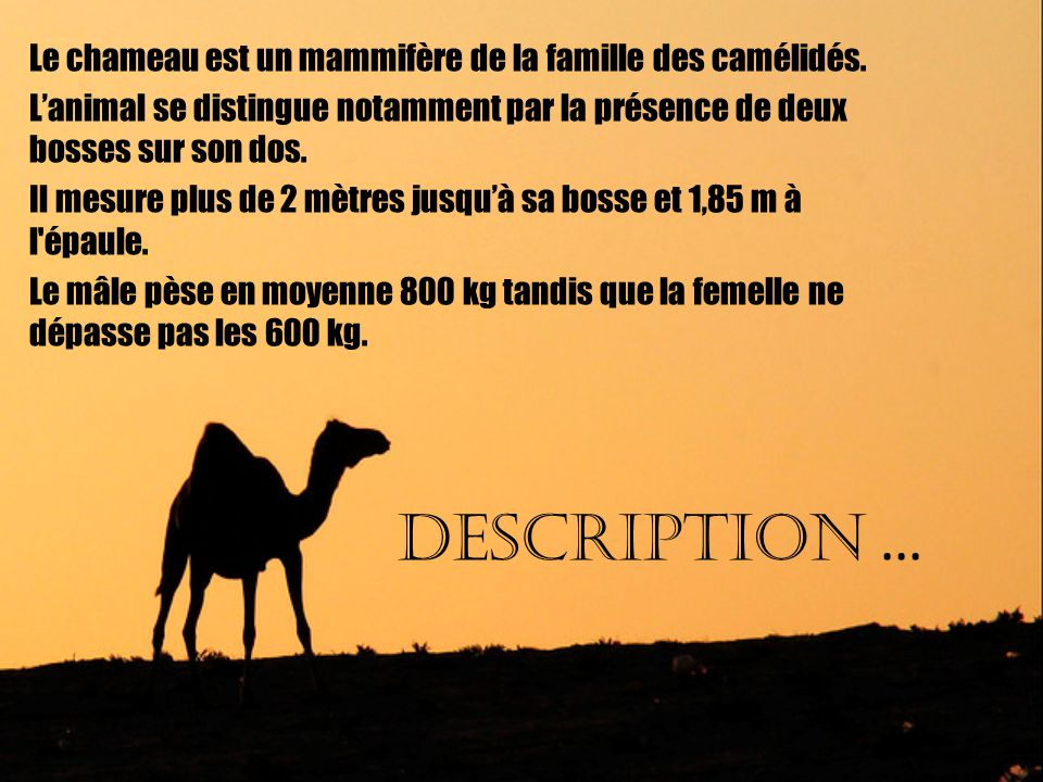 DESCRIPTION … Le chameau est un mammifère de la famille des camélidés.
