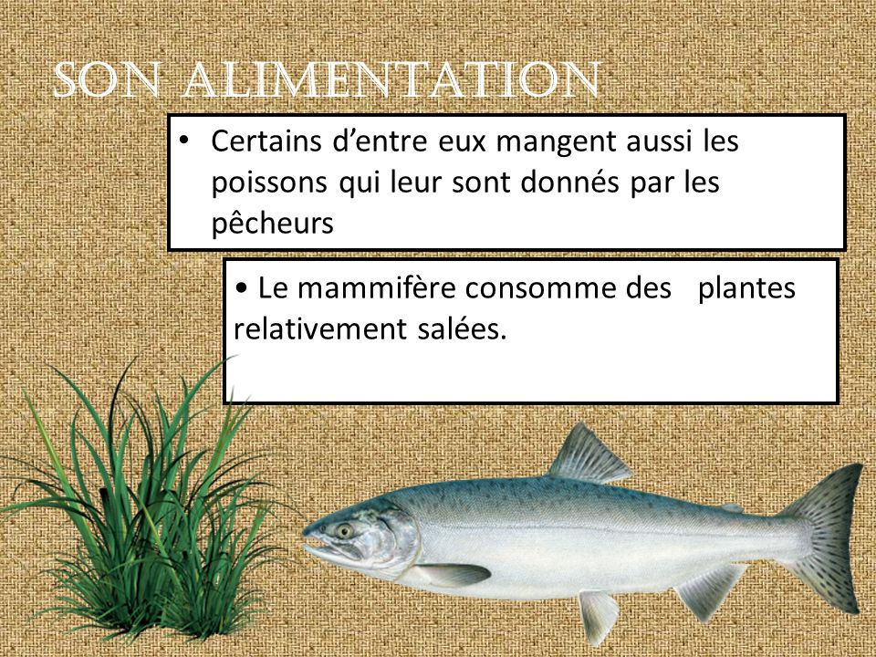 Le mammifère consomme des plantes relativement salées.