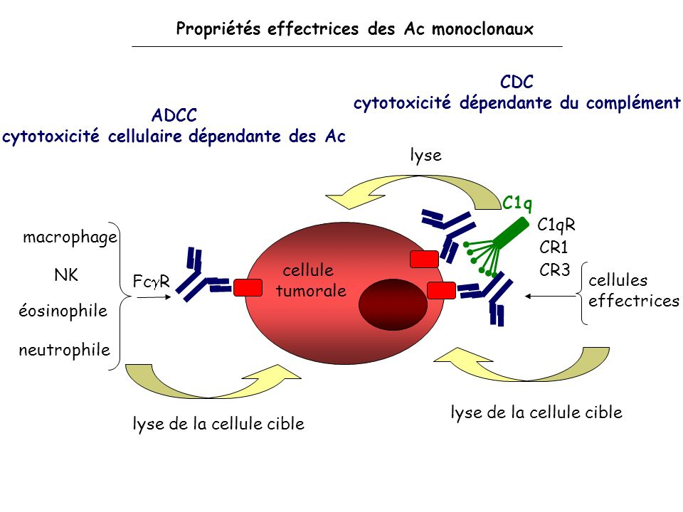Propriétés effectrices des Ac monoclonaux