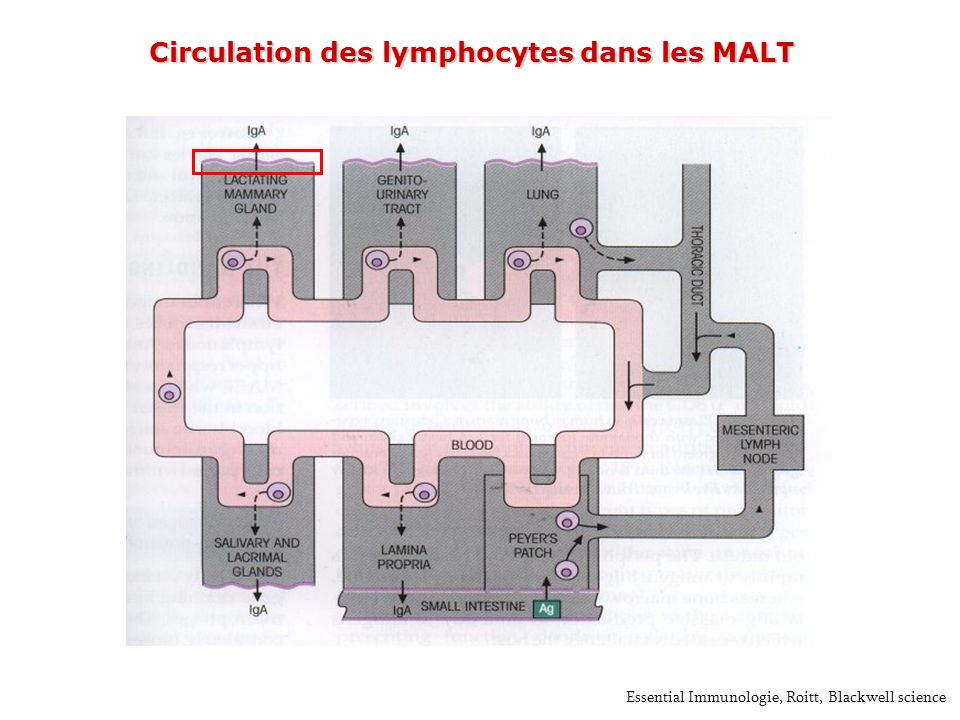 Circulation des lymphocytes dans les MALT