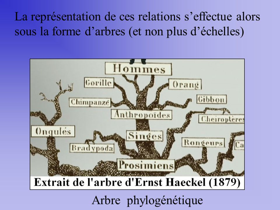 La représentation de ces relations s'effectue alors sous la forme d'arbres (et non plus d'échelles)