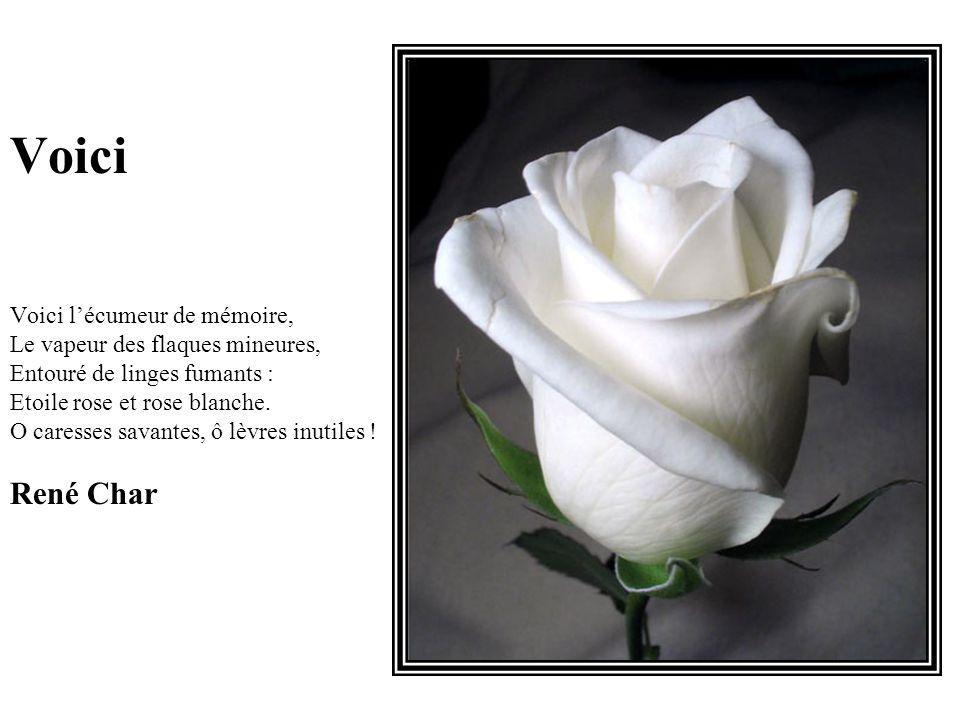 Voici Voici l'écumeur de mémoire, Le vapeur des flaques mineures, Entouré de linges fumants : Etoile rose et rose blanche.