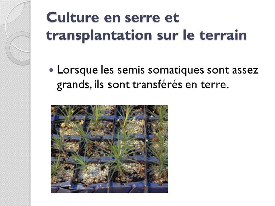 Culture en serre et transplantation sur le terrain