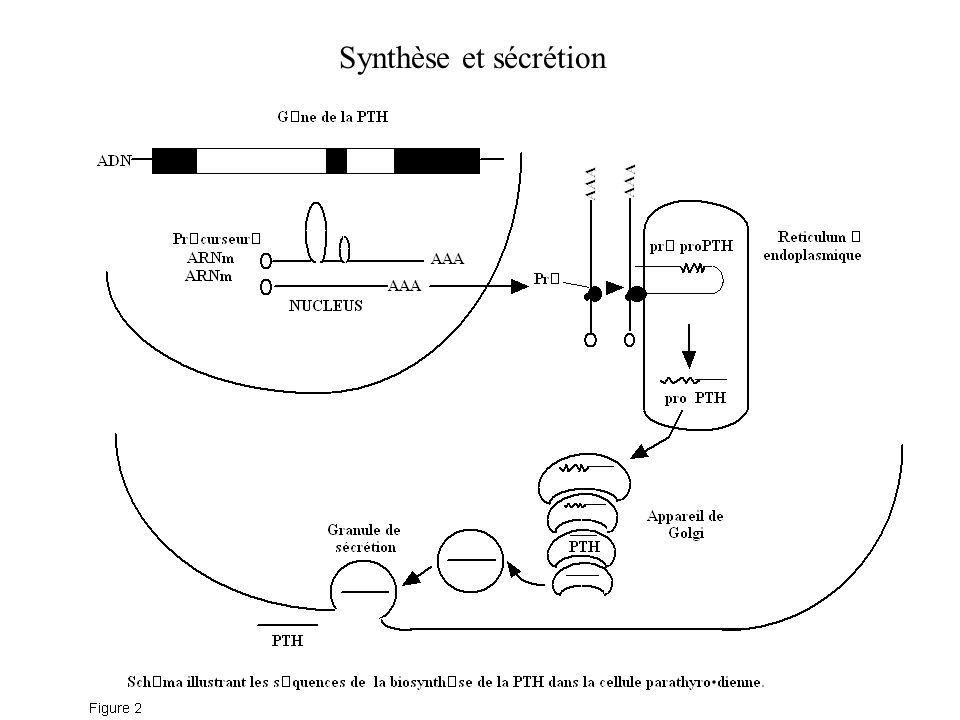 Synthèse et sécrétion