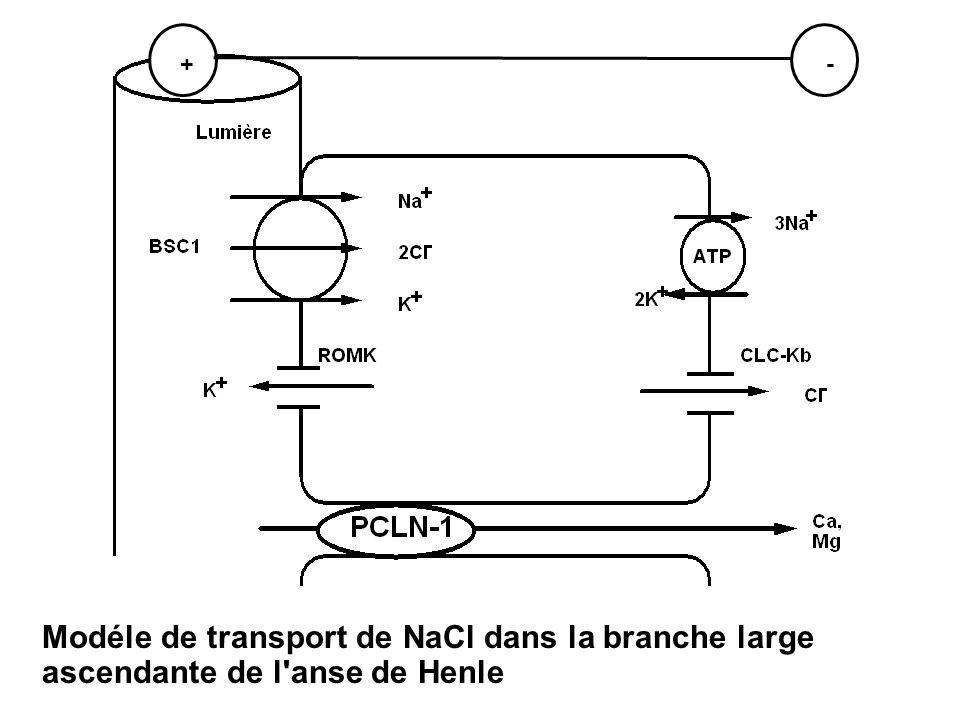 Modéle de transport de NaCl dans la branche large