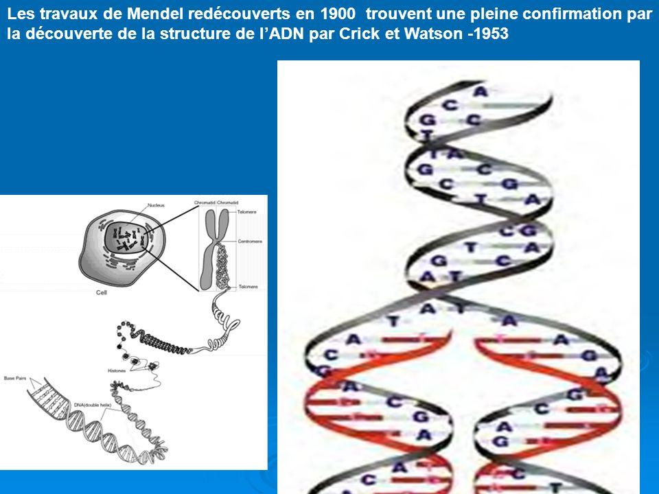 Les travaux de Mendel redécouverts en 1900 trouvent une pleine confirmation par la découverte de la structure de l'ADN par Crick et Watson -1953