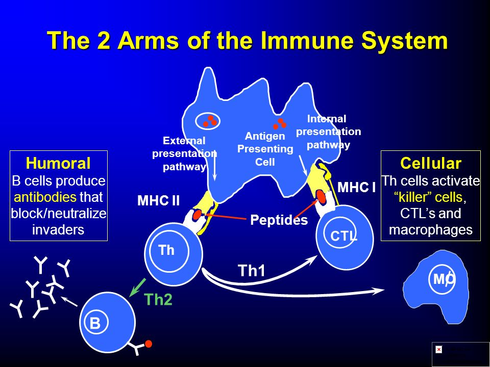 The 2 Arms of the Immune System