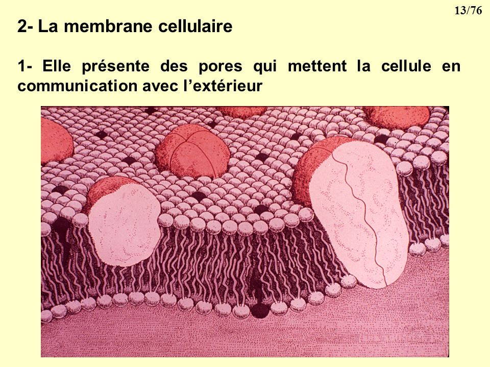 2- La membrane cellulaire