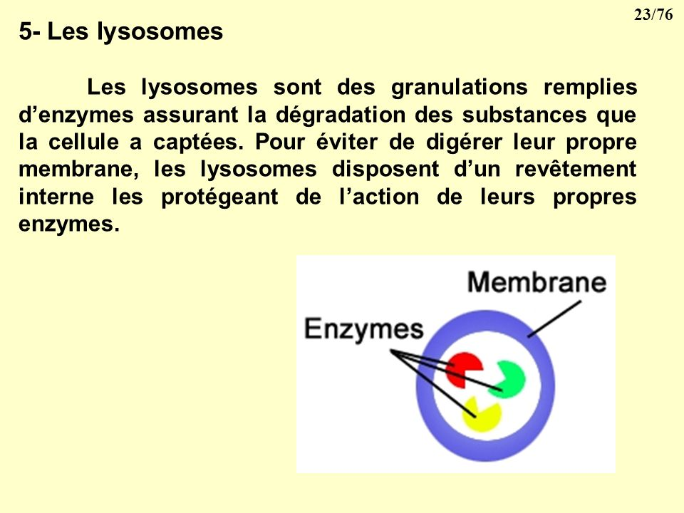5- Les lysosomes