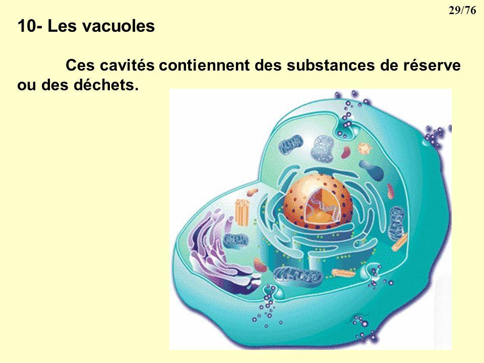 10- Les vacuoles Ces cavités contiennent des substances de réserve ou des déchets.