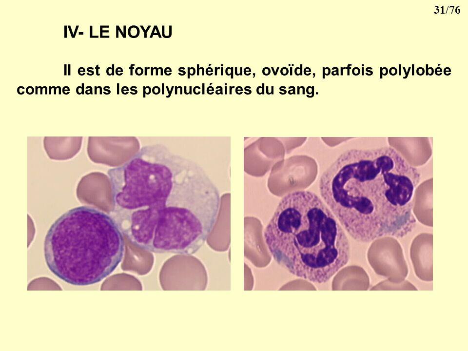 IV- LE NOYAU Il est de forme sphérique, ovoïde, parfois polylobée comme dans les polynucléaires du sang.