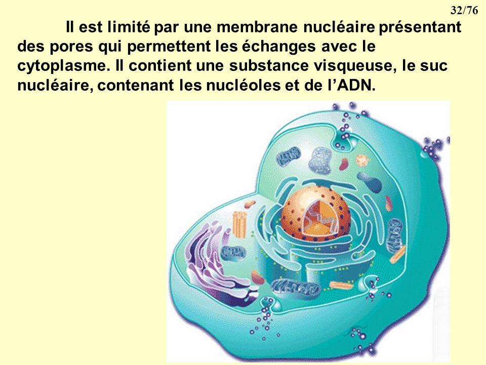 Il est limité par une membrane nucléaire présentant des pores qui permettent les échanges avec le cytoplasme.