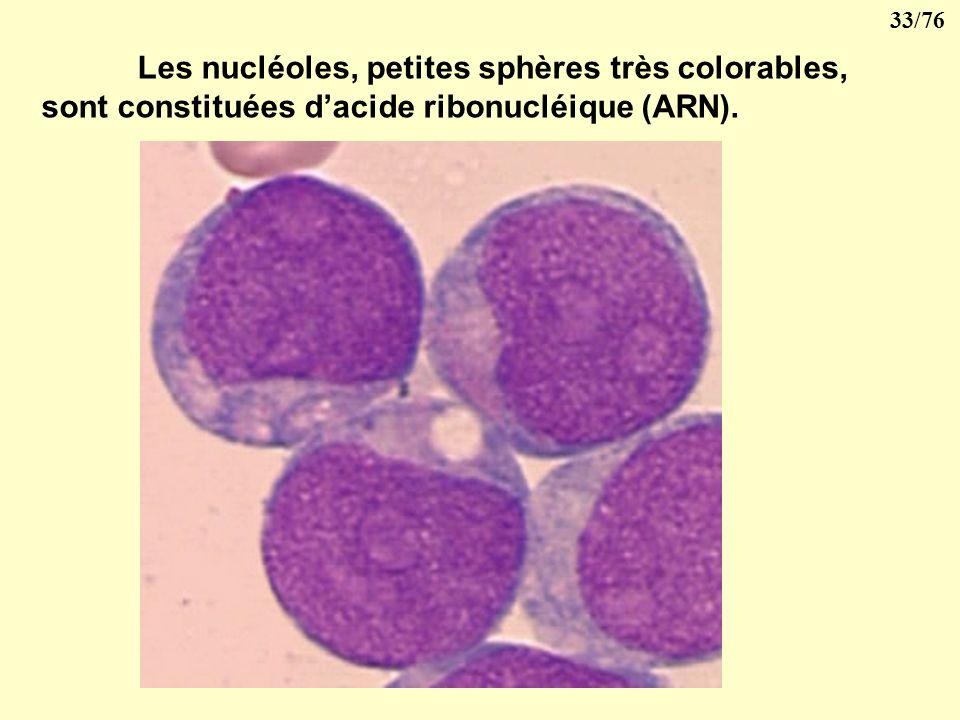 Les nucléoles, petites sphères très colorables, sont constituées d'acide ribonucléique (ARN).