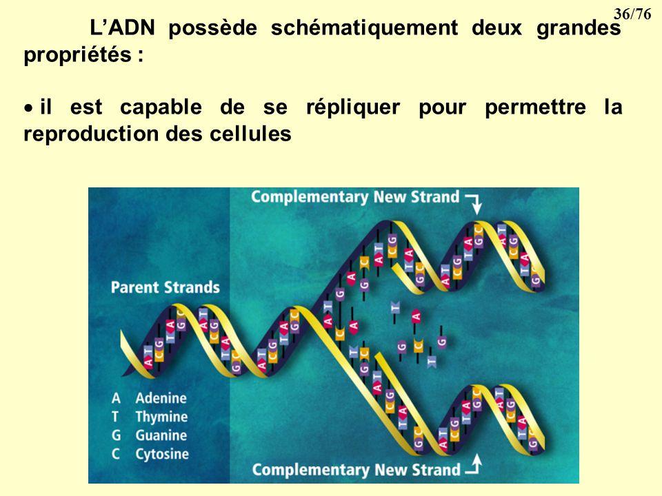L'ADN possède schématiquement deux grandes propriétés :