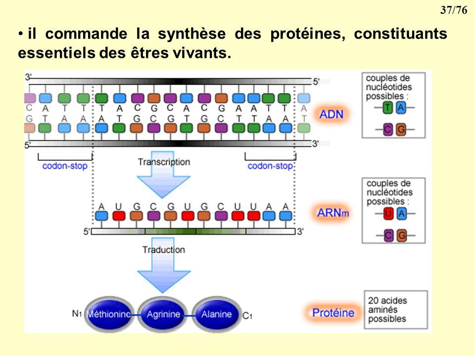 il commande la synthèse des protéines, constituants essentiels des êtres vivants.