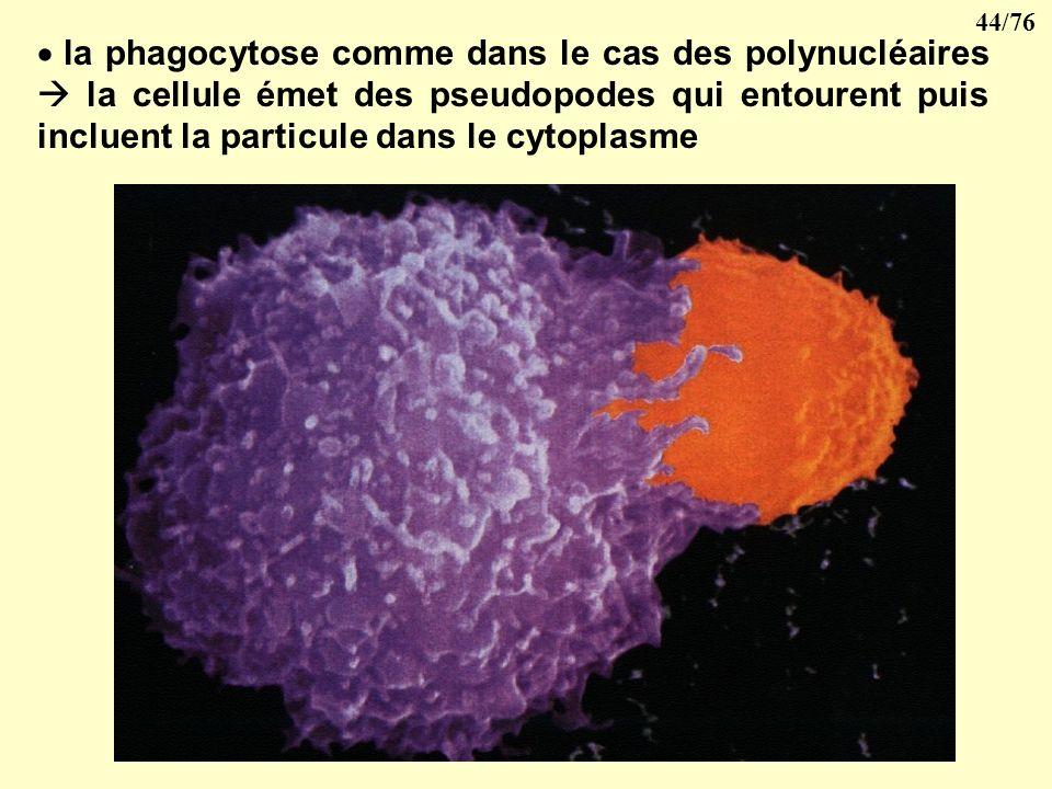 la phagocytose comme dans le cas des polynucléaires  la cellule émet des pseudopodes qui entourent puis incluent la particule dans le cytoplasme