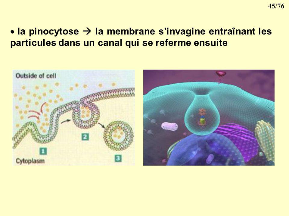 la pinocytose  la membrane s'invagine entraînant les particules dans un canal qui se referme ensuite