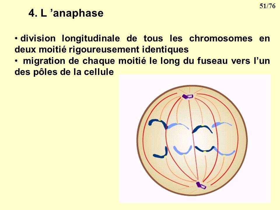 4. L 'anaphase division longitudinale de tous les chromosomes en deux moitié rigoureusement identiques.