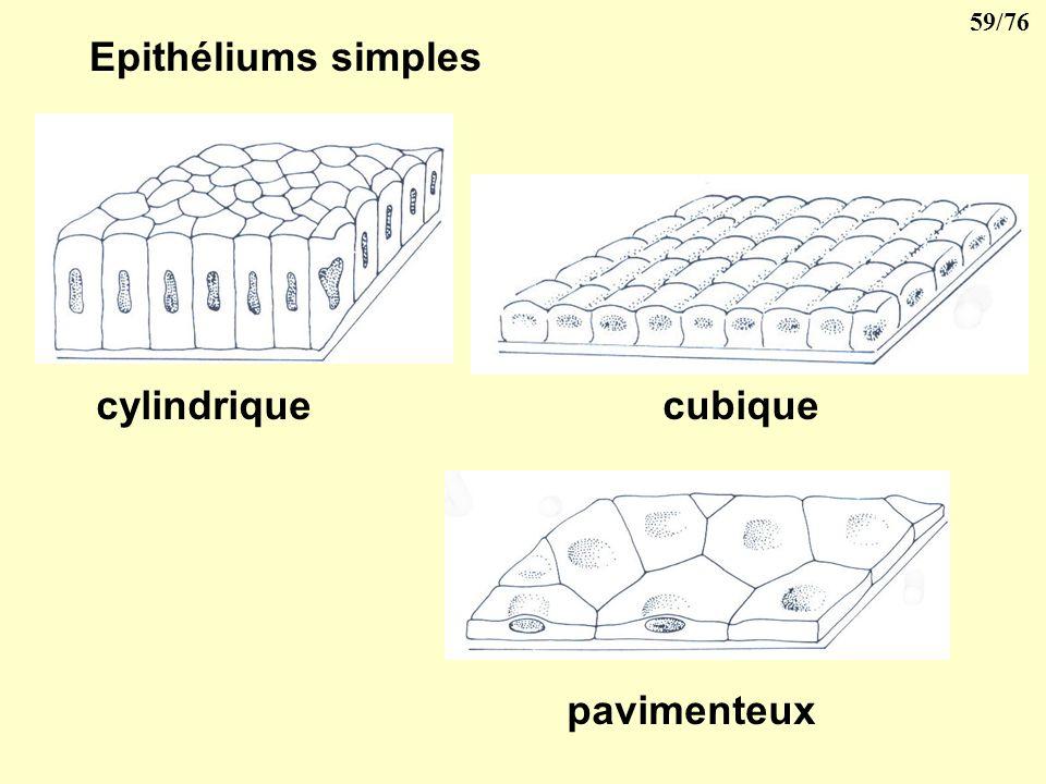 Epithéliums simples cylindrique cubique pavimenteux