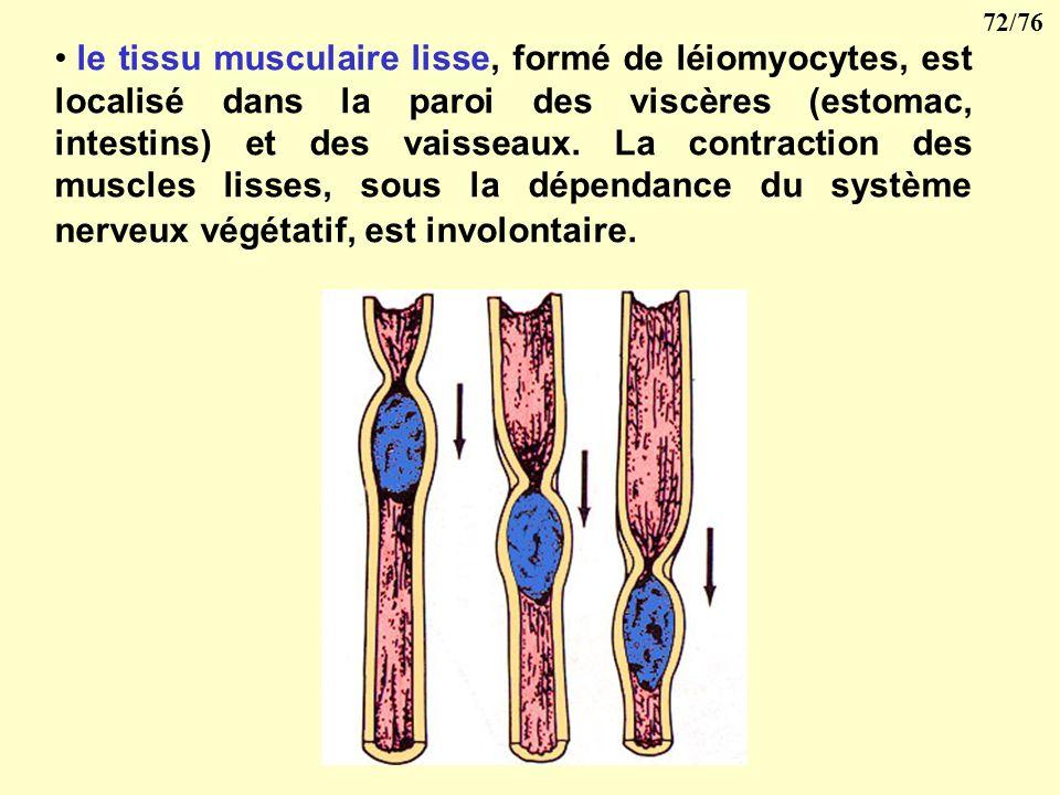 le tissu musculaire lisse, formé de léiomyocytes, est localisé dans la paroi des viscères (estomac, intestins) et des vaisseaux.