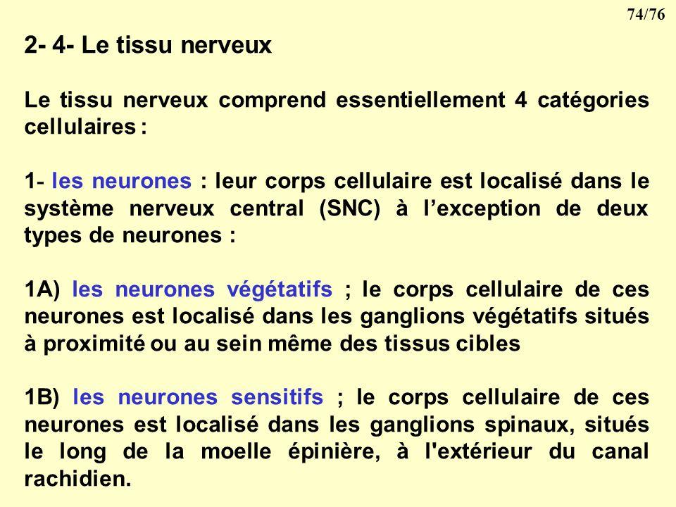 2- 4- Le tissu nerveux Le tissu nerveux comprend essentiellement 4 catégories cellulaires :
