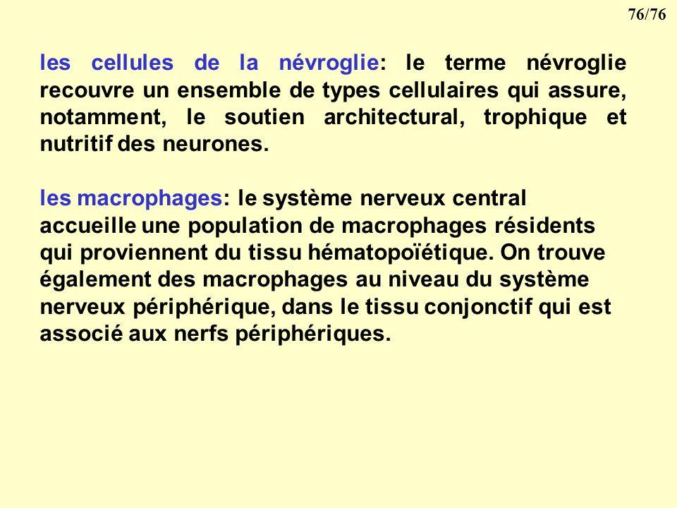 les cellules de la névroglie: le terme névroglie recouvre un ensemble de types cellulaires qui assure, notamment, le soutien architectural, trophique et nutritif des neurones.