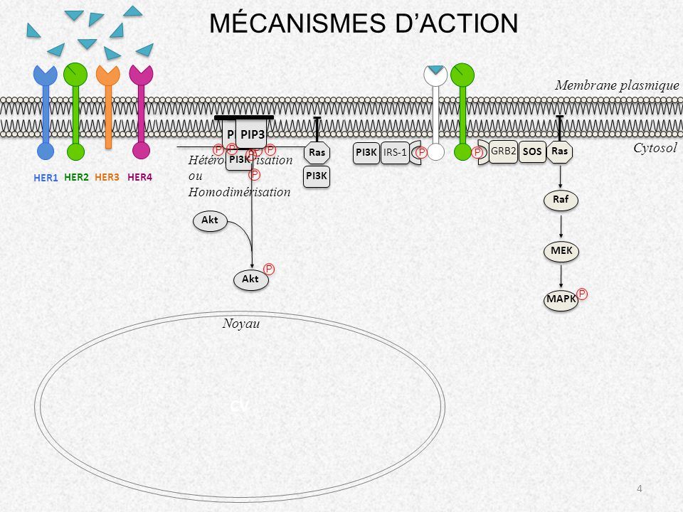 MÉCANISMES D'ACTION CV Membrane plasmique Cytosol Noyau PIP2 PIP3