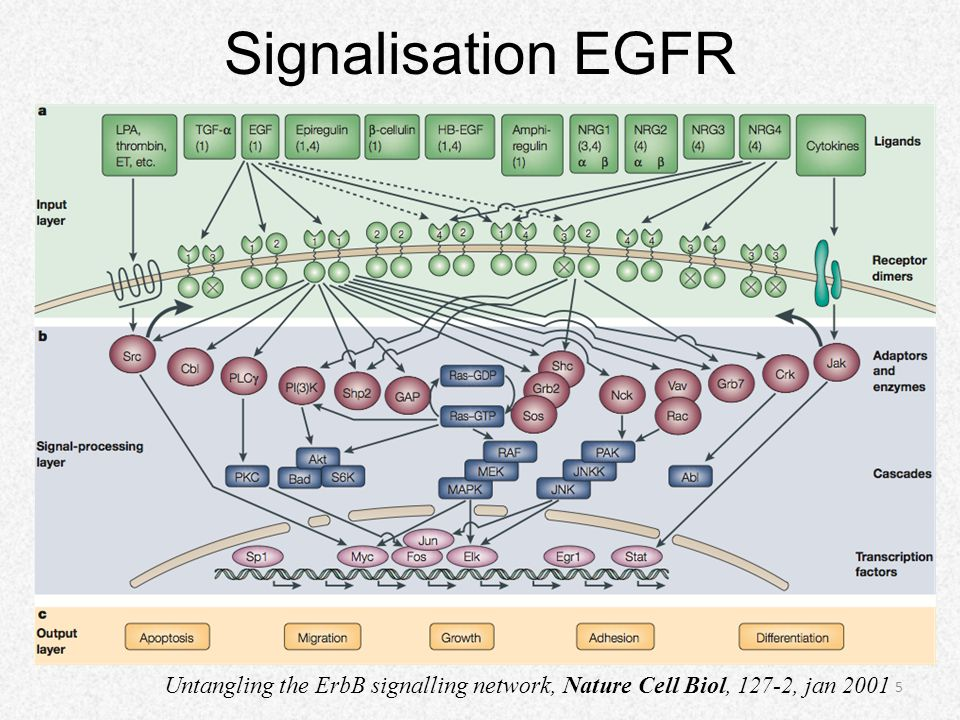 Signalisation EGFR Untangling the ErbB signalling network, Nature Cell Biol, 127-2, jan 2001