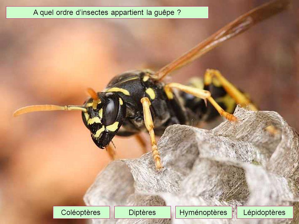 A quel ordre d'insectes appartient la guêpe