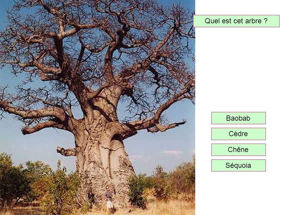 Quel est cet arbre Baobab Cèdre Chêne Séquoia