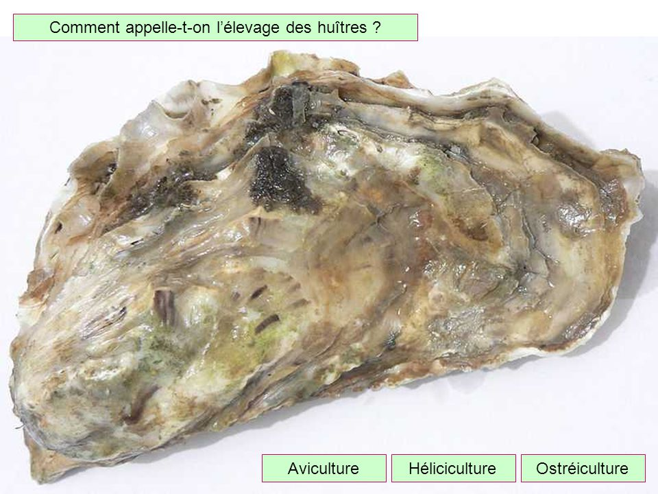 Comment appelle-t-on l'élevage des huîtres